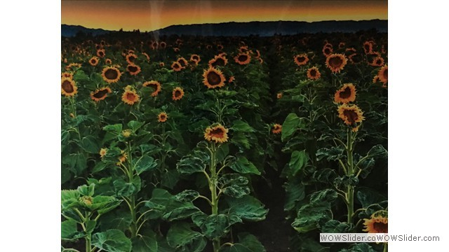 Sunflowers by David Evans, MD