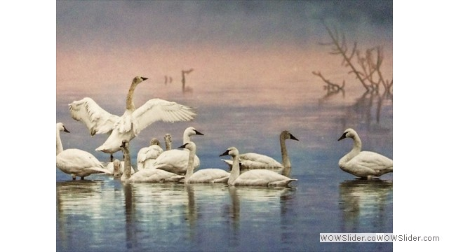 Tundra Swans by Gail Parris